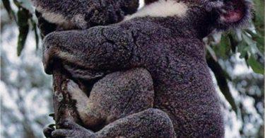 koalas apareandose