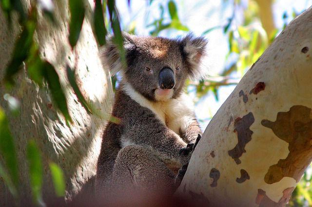 koala 640