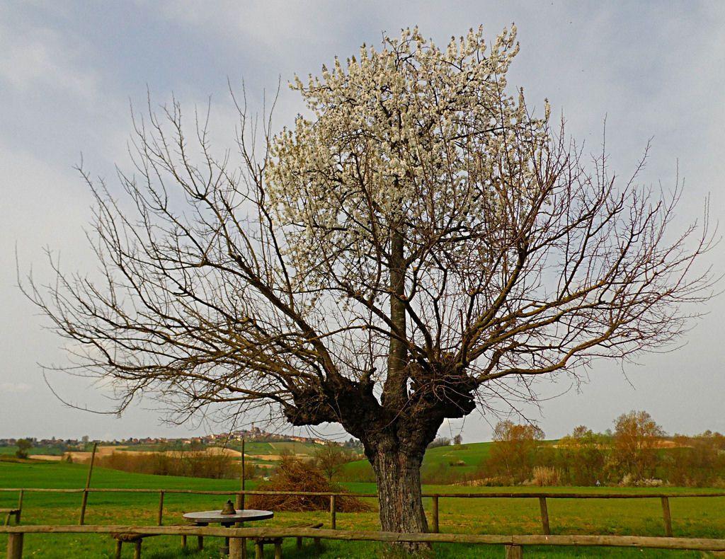 árbol doble de Casorzo (1)