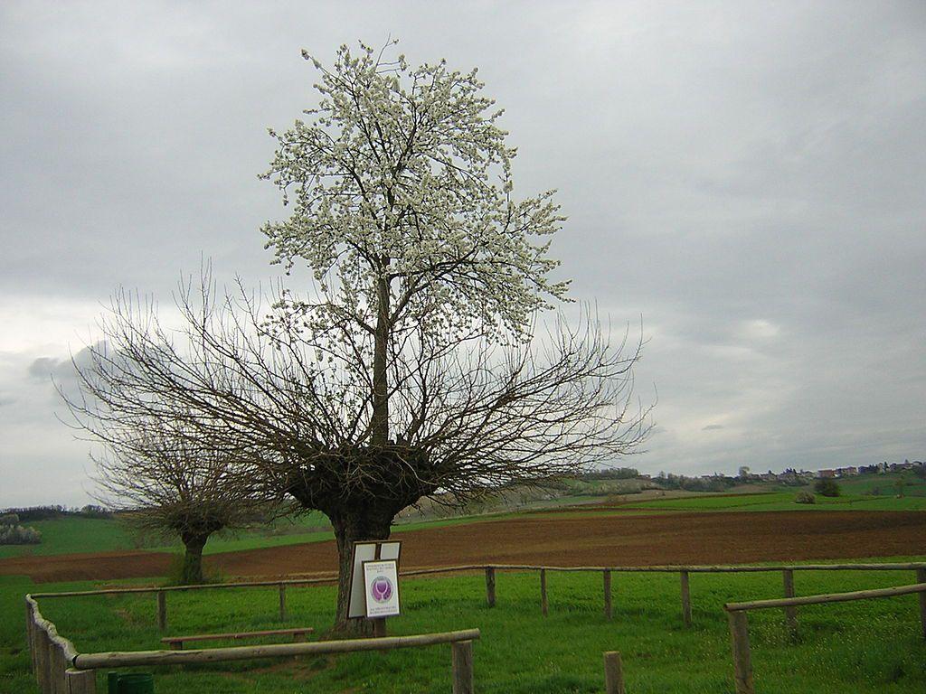 árbol doble de Casorzo (8)