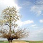 El árbol doble de Casorzo, un árbol que crece sobre otro
