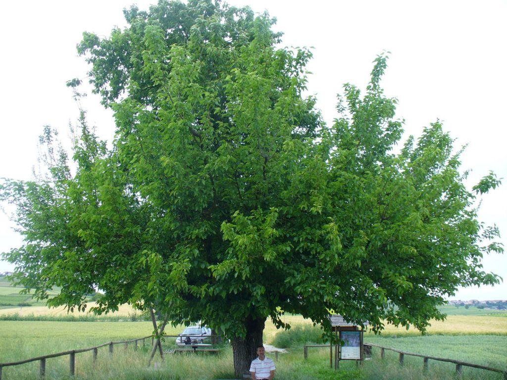 árbol doble de Casorzo (6)