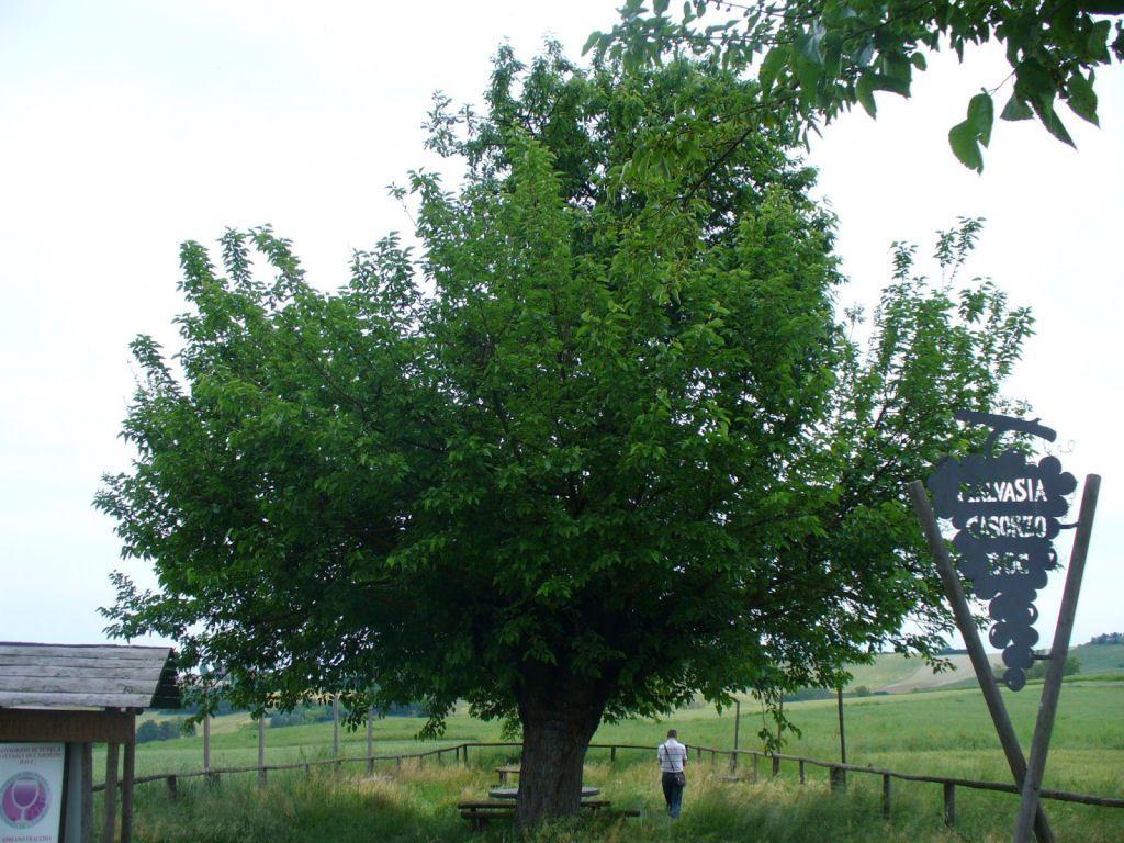 árbol doble de Casorzo (4)