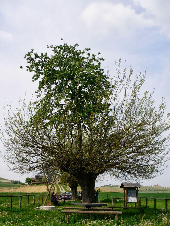 árbol doble de Casorzo (3)