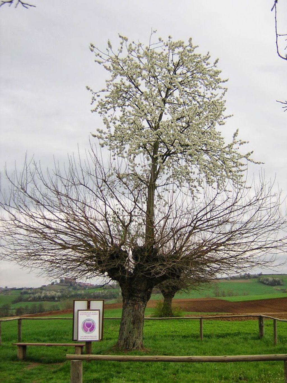 árbol doble de Casorzo (2)