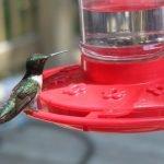 Mantis religiosa atrapa a un colibrí
