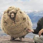 Shrek, la oveja que escapó a la esquila durante 6 años