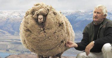 Shrek, la oveja (1)