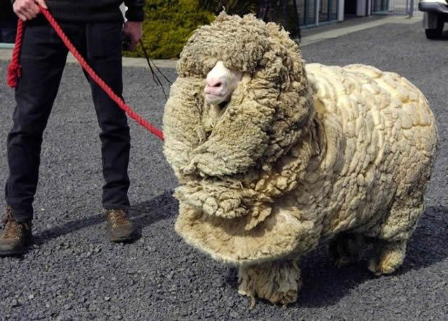 Shrek, la oveja (10)