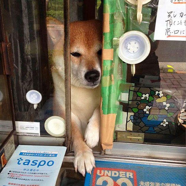 perro atiende tiden tabaco japón (6)