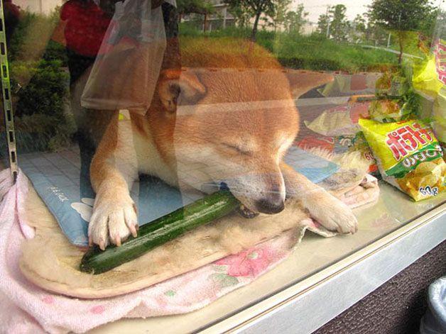 perro atiende tiden tabaco japón (4)