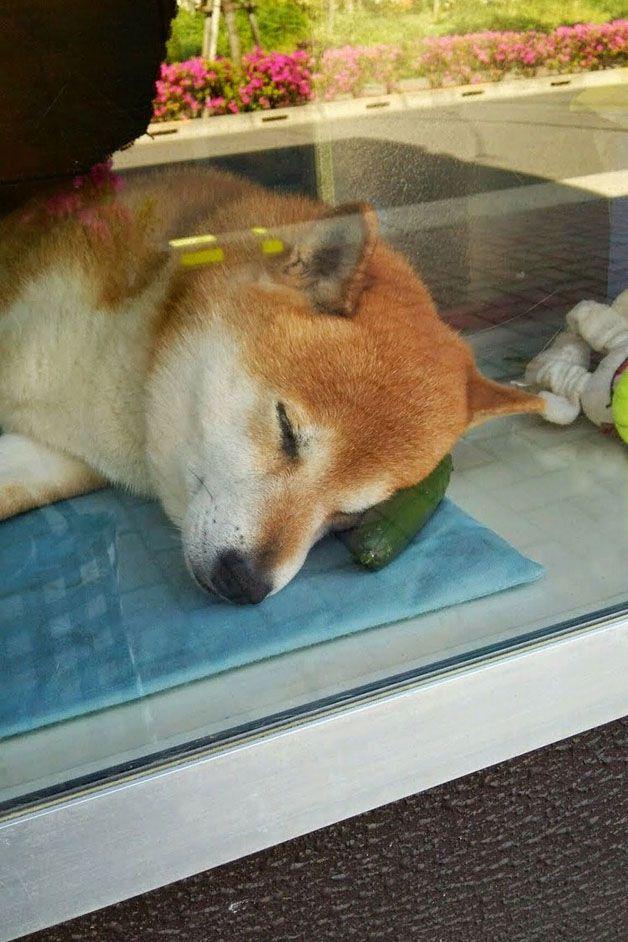 perro atiende tiden tabaco japón (3)