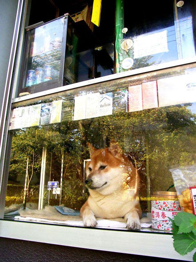perro atiende tiden tabaco japón (2)