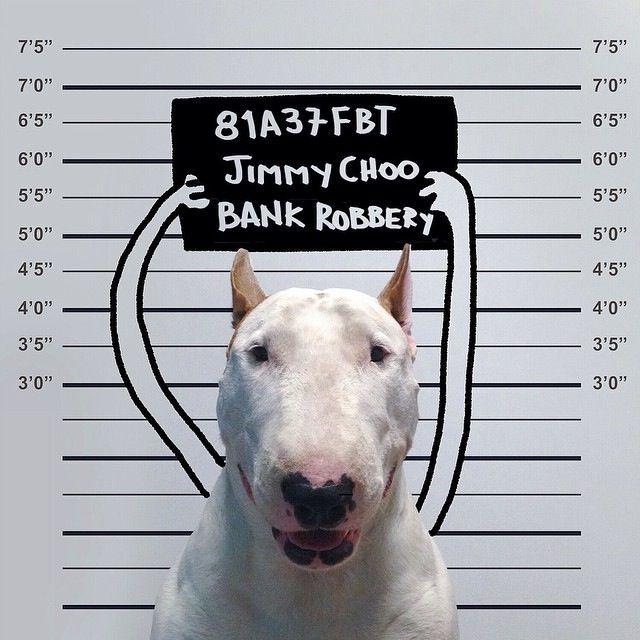 Jimmy-Choo-bull-terrier-ladron