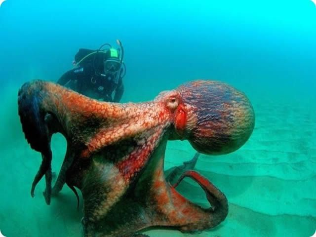 pulpo gigante pacifico
