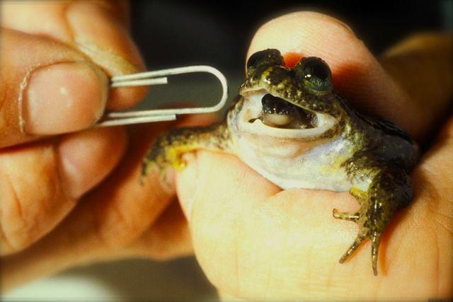 rana de Australia