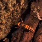 """Video: avispa siendo """"rostizada"""" por abejas + VIDEOS"""