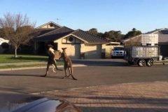 Mientras tanto en Australia, dos canguros peleando