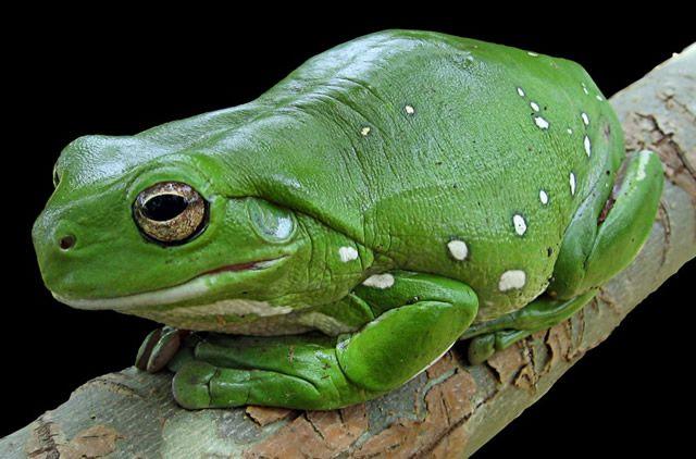 ana arborícola verde de Australia