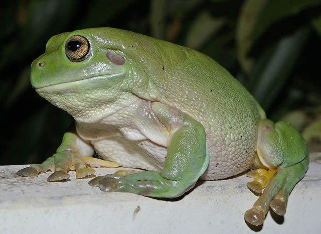 rana arborícola verde de Australia