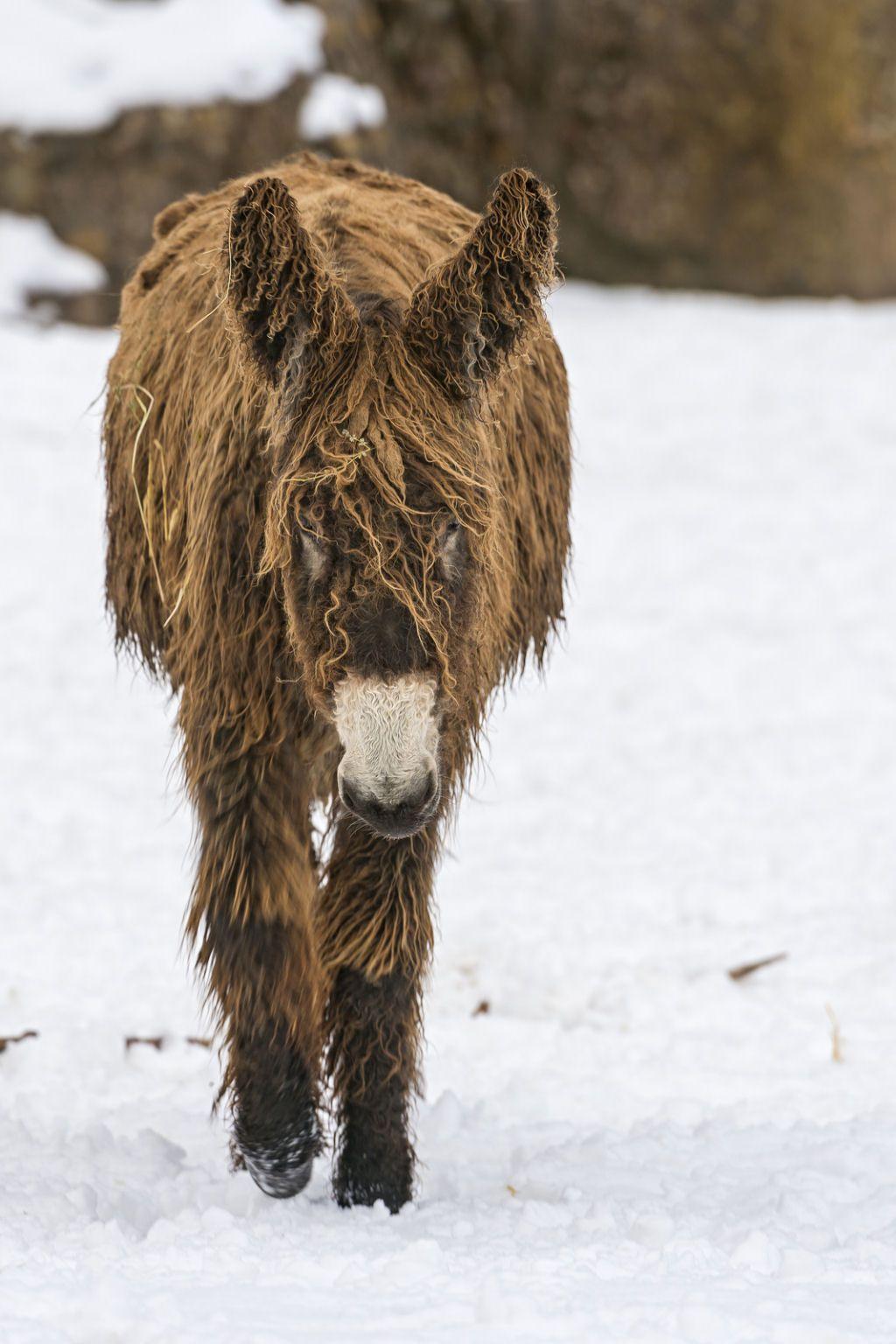 Poitou_burro_dreadlocks (1)