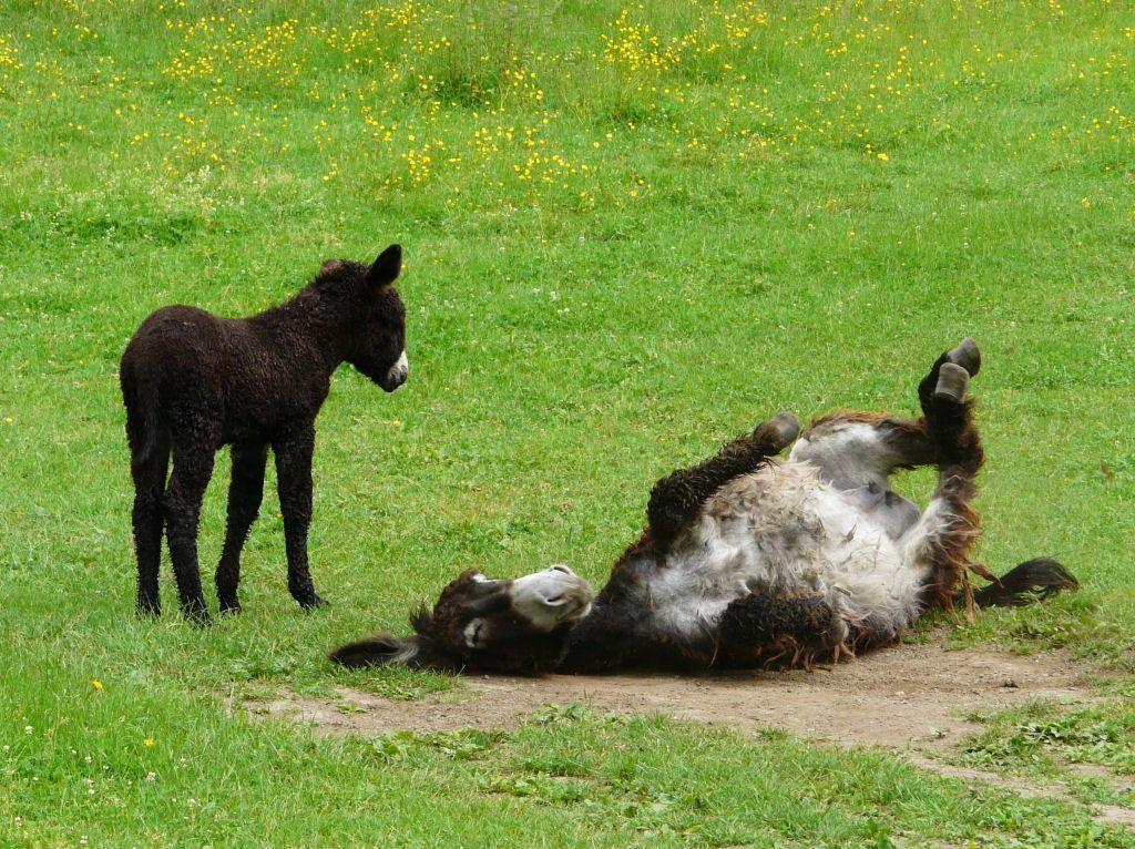 Poitou_burro_dreadlocks (10)