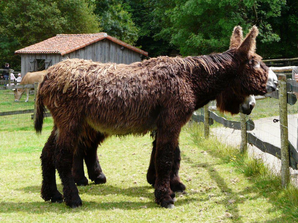 Poitou_burro_dreadlocks (11)