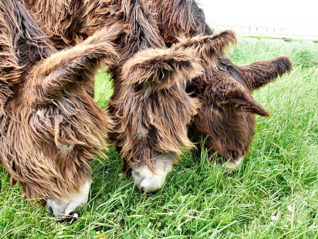 Poitou_burro_dreadlocks (12)