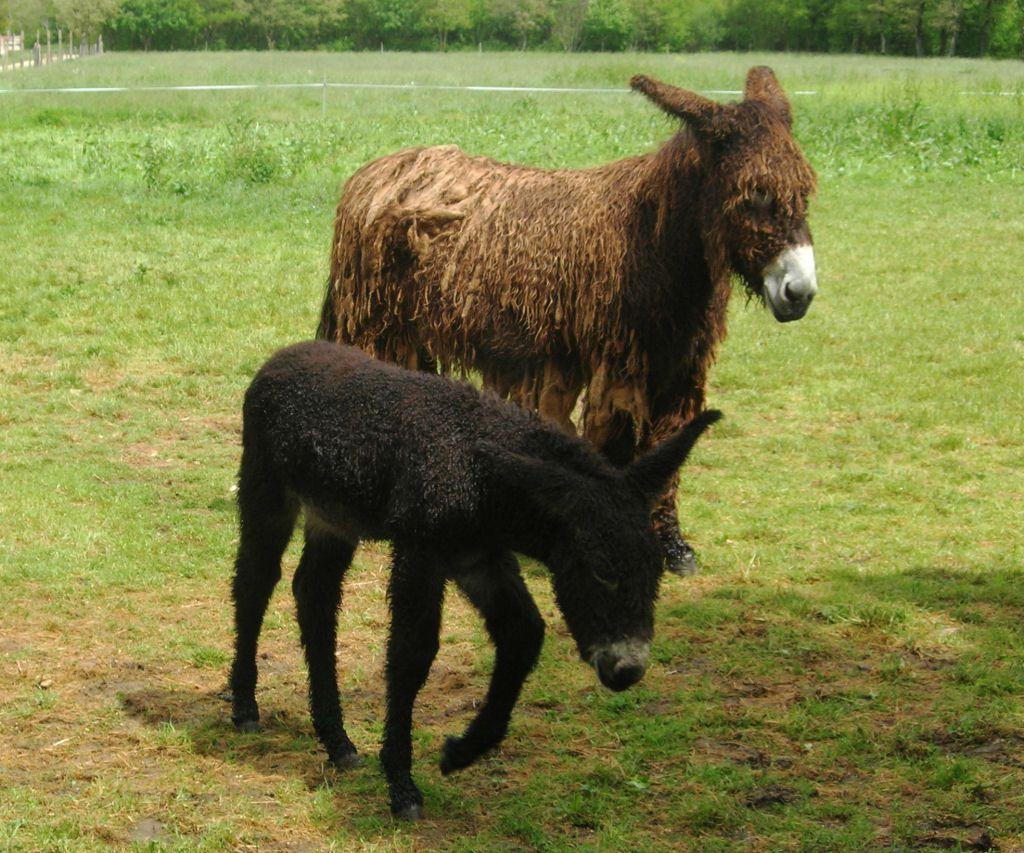 Poitou_burro_dreadlocks (14)