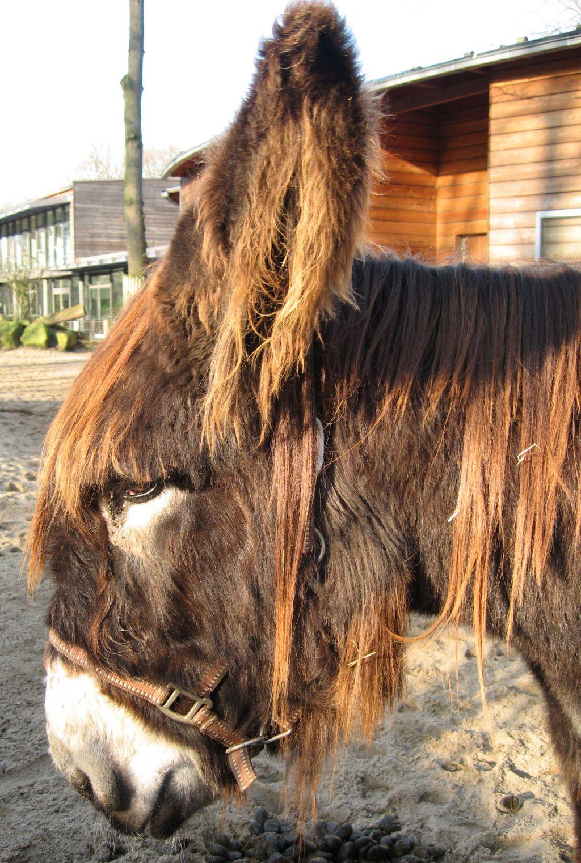 Poitou_burro_dreadlocks (15)