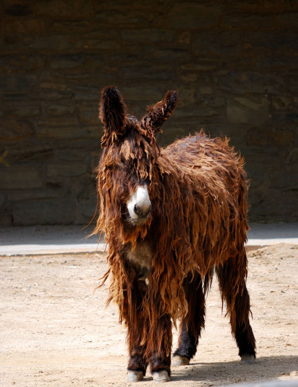 Poitou_burro_dreadlocks (2)