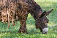 Poitou, los burros con rastas