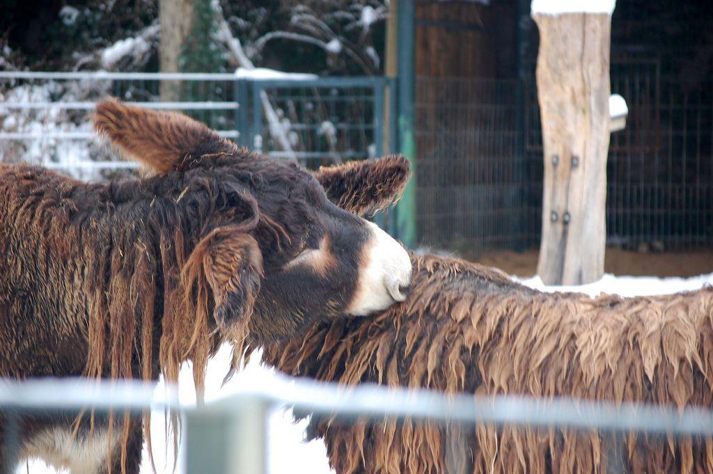 Poitou_burro_dreadlocks (4)