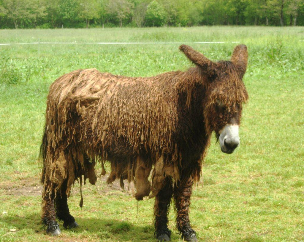 Poitou_burro_dreadlocks (5)