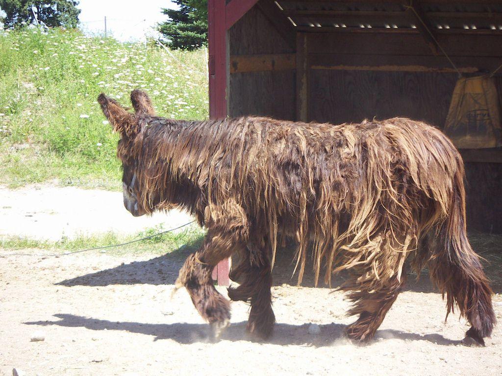 Poitou_burro_dreadlocks (6)
