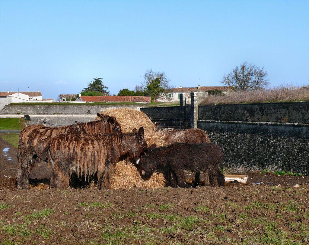 Poitou_burro_dreadlocks (7)
