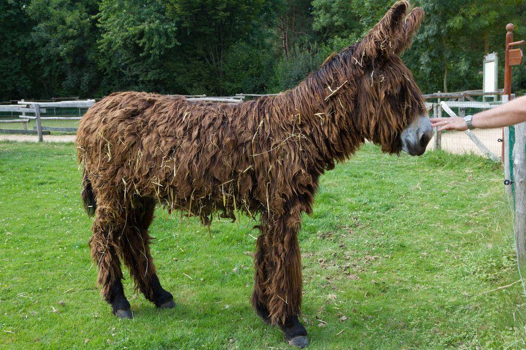 Poitou_burro_dreadlocks (8)