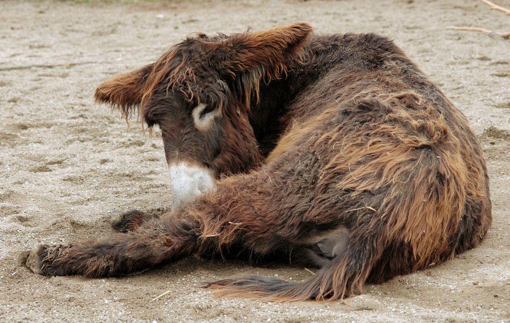 Poitou_burro_dreadlocks (9)