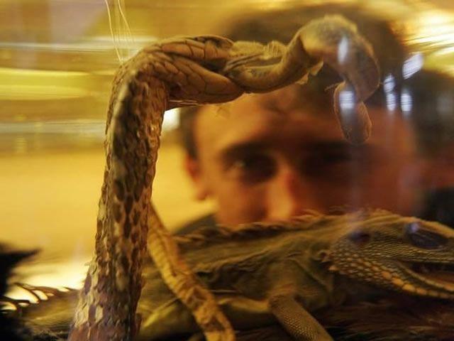 Licor lagartos