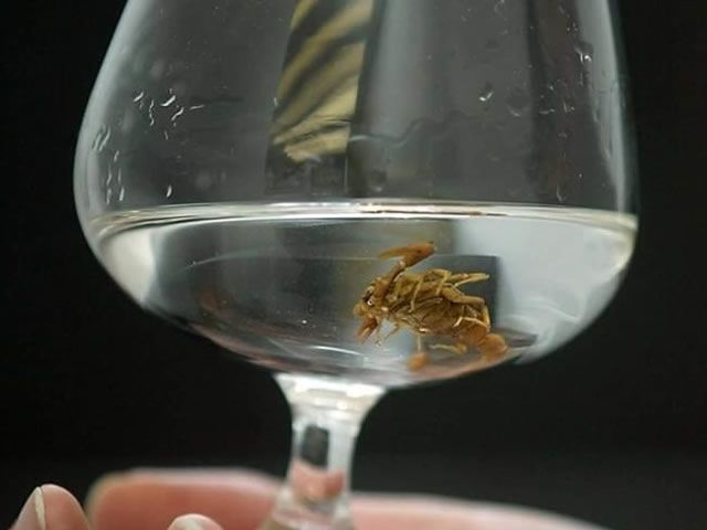 bebidas siniestras vodka escorpion