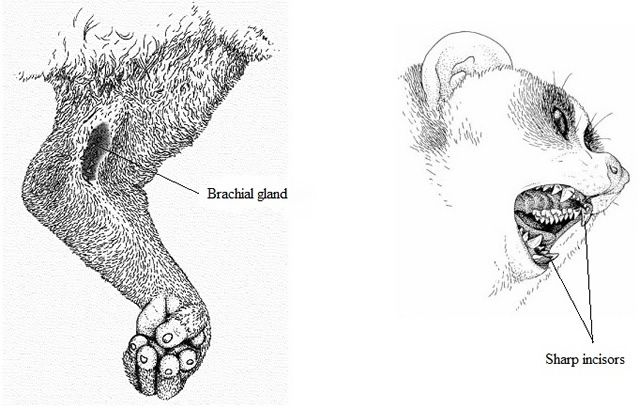 brachial gland and incisors