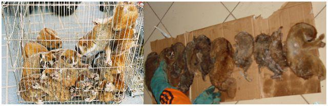 En la izquierda un contrabando confiscado de loris pigmeos en Tailandia (exóticos a la región). A la derecha, otro contrabando confiscado por autoridades indonesias de loris de Sumatra (todos muertos), la especies más amenazada.