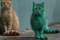 """El increíble gato """"Hulk"""""""