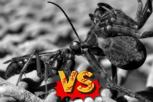 Pompilidae vs tarantula