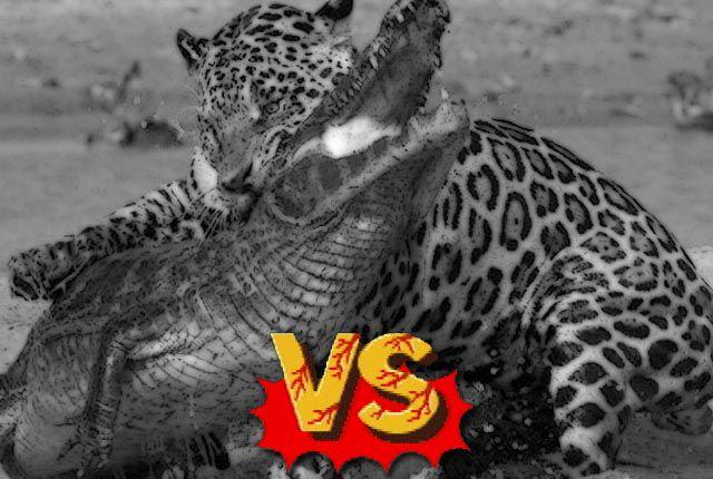 caiman-vs-jaguar
