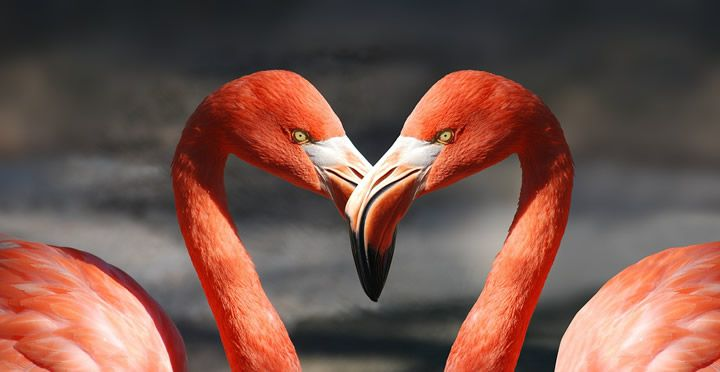 flamingos corazon