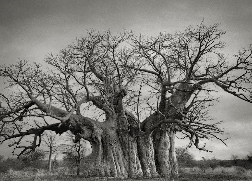 fotografías arboles antiguos por beth moon (15)
