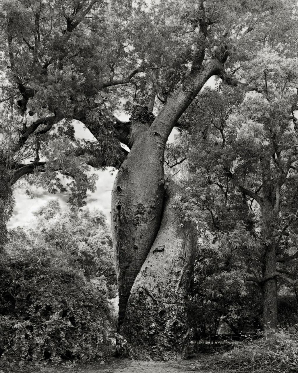 fotografías arboles antiguos por beth moon (2)