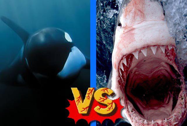 orca tiburon blanco