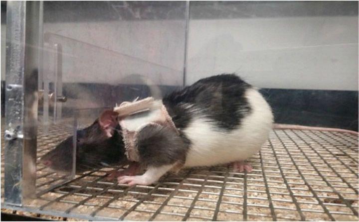 rata saco